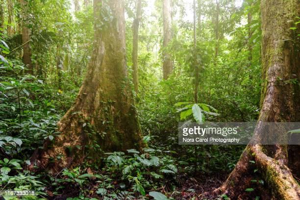jungle forest in mahua crocker range national park - árvore de folha caduca - fotografias e filmes do acervo