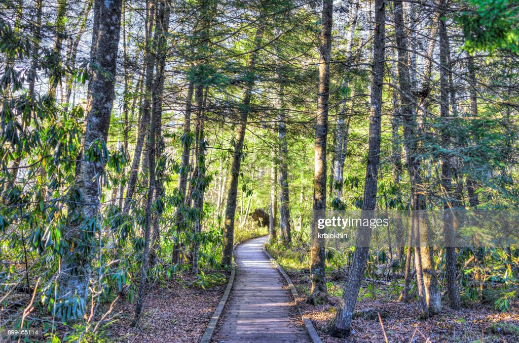 Jungle forest path with wooden boardwalk trail in autumn during sunrise in Cranberry Glades Wilderness in West Virginia : Stock Photo