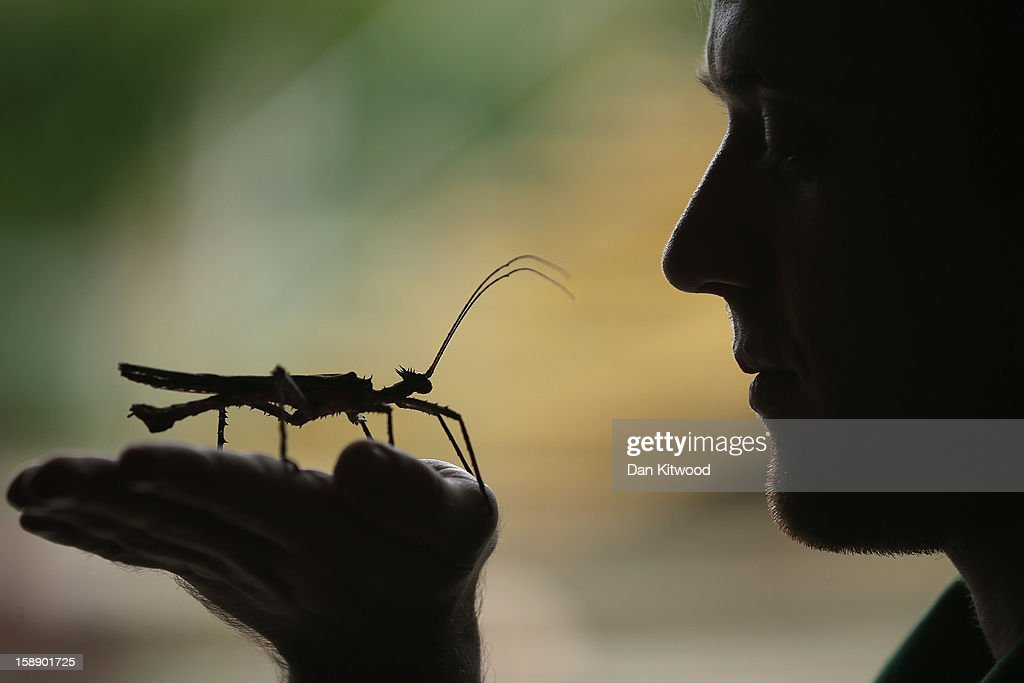 A Jungle Nymph rests on a zookeeper's hand during London Zoo's annual stocktake of animals on January 3, 2013 in London, England. The zoo's stocktake takes place annually, and gives keepers a chance to check on the numbers of every one of the animals from stick insects and frogs to tigers and camels.
