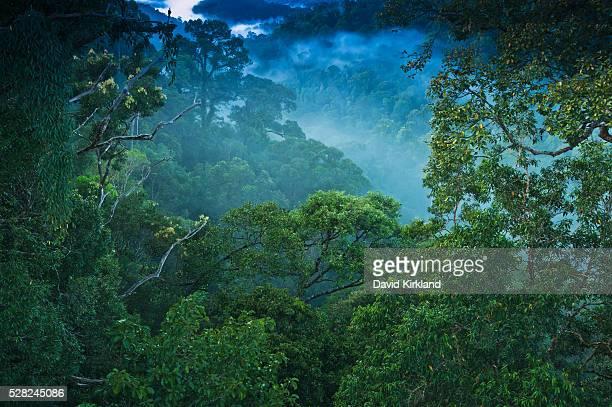 Jungle scene on canopy walk at Ulu Temburong National Park; Brunei