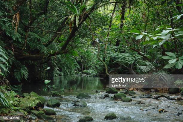 Jungle stream in Iriomote-Ishigaki National Park, Japan