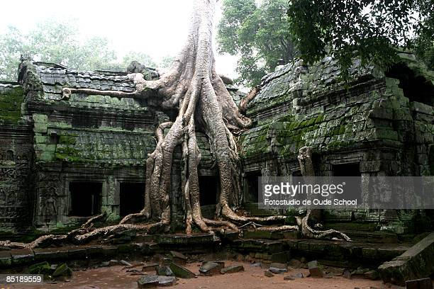 jungle temple - banyan tree stock pictures, royalty-free photos & images