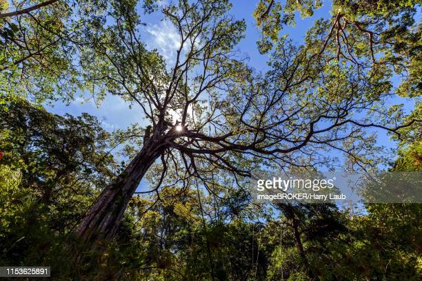 jungle tree, building crown in rainforest, back light with sun star, national park rincon de la vieja, parque nacional rincon de la vieja, province guanacaste, costa rica - guanacaste stock pictures, royalty-free photos & images