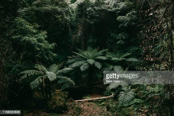 jungle with tree ferns on hachijo-jima island, tokyo, japan - 熱帯雨林 ストックフォトと画像