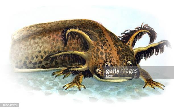 Junie BroJorgensen color illustration of a mexican Axolotl