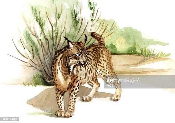 Junie BroJorgensen color illustration of the endangered Iberian lynx