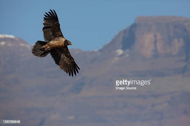 Junior Lammergeier (Bearded Vulture) at Giant's Castle, Drakensburg Mountains, Africa