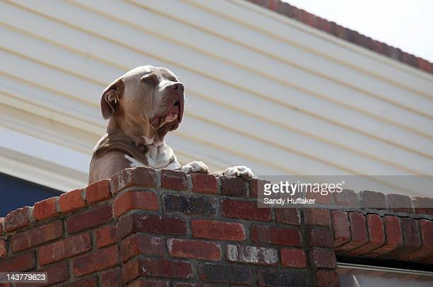 Junior Seau's pit bull ''Rock'' looks out as wellwishers pay their respects at a memorial outside of Junior Seau's beach home on April 3 2012 in...