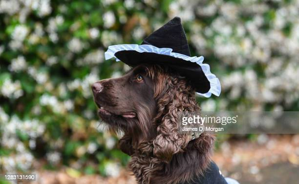 Junior the Cocker Spaniel wears a witch hat on October 31, 2020 in Sydney, Australia. Halloween celebrations have been modified this year following...