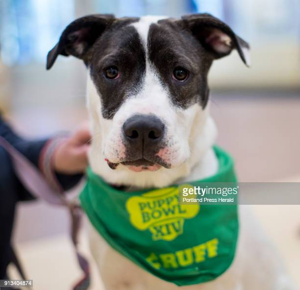 Juniper, a 7-month-old American Staffordshire terrier/American bulldog from Animal Refuge League, will be competing in Puppy Bowl XIV on Sunday.