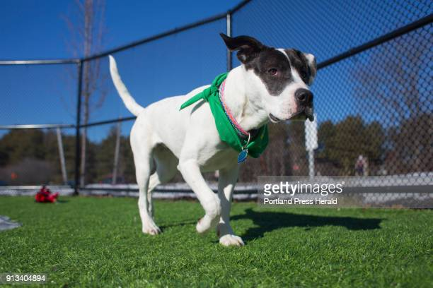 Juniper a 7monthold American Staffordshire terrier/American bulldog from Animal Refuge League will be competing in Puppy Bowl XIV on Sunday