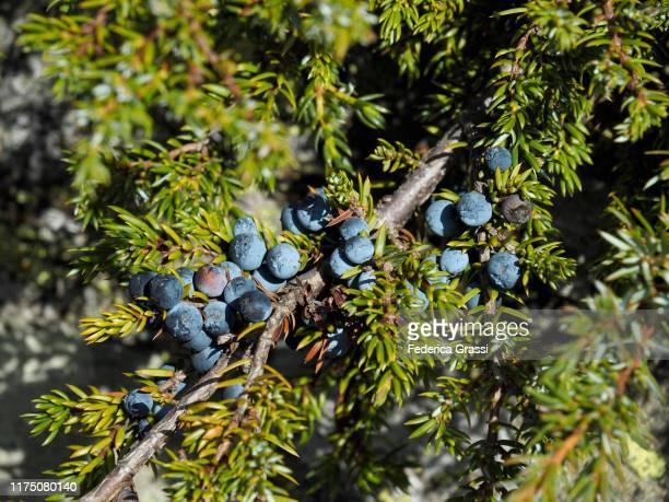 juniper (juniperus l.) berries at simplon pass - juniper tree stock pictures, royalty-free photos & images