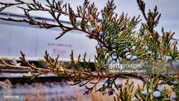 Juniper Berries Growing On Tree