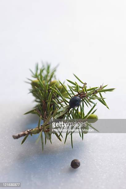 Juniper berry and juniper berry branch