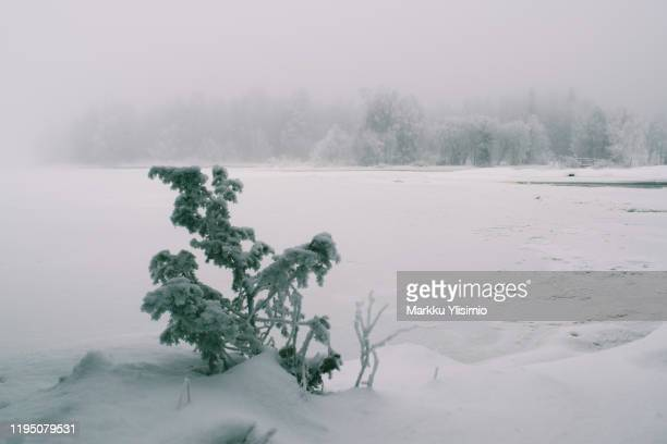 juniper in winter - juniper tree stock pictures, royalty-free photos & images
