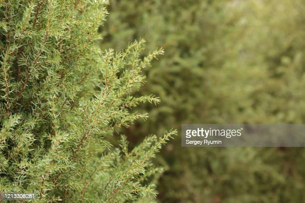 juniper needles as background - juniper tree stock pictures, royalty-free photos & images