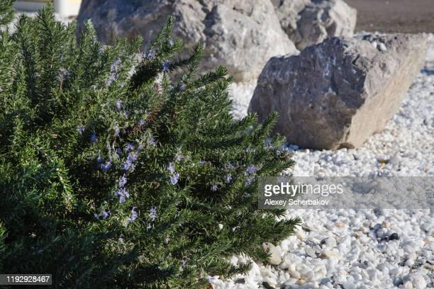 juniper - juniper tree stock pictures, royalty-free photos & images