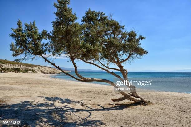 juniper tree on a virgin beach