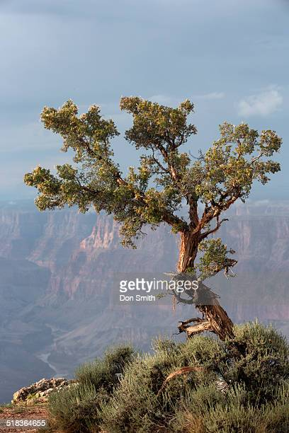 juniper tree over canyon - juniper tree stock pictures, royalty-free photos & images
