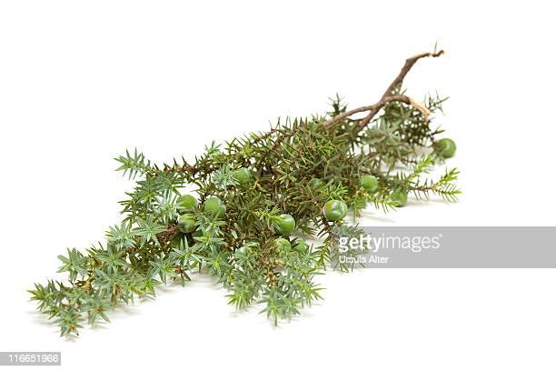 Juniper twig with unripe juniper berries