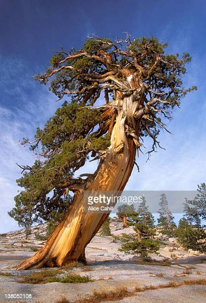 juniperus occidentalis - western juniper tree stock pictures, royalty-free photos & images