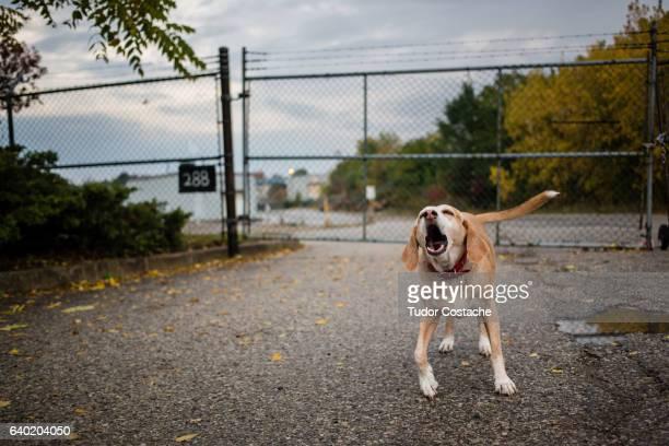 junkyard dog howls - junkyard stock photos and pictures