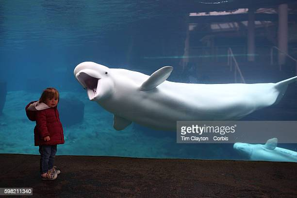 Juno a Beluga Whale greets young viewers at the viewing window at Mystic Aquarium Juno is one of three Beluga Whales at Mystic Aquarium Mystic...