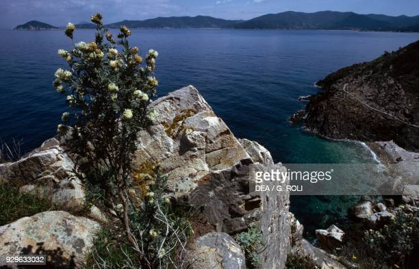 Jupiter's beard Gulf of Procchio with Cape Enfola in the background Elba island Tuscan Archipelago National Park Tuscany Italy