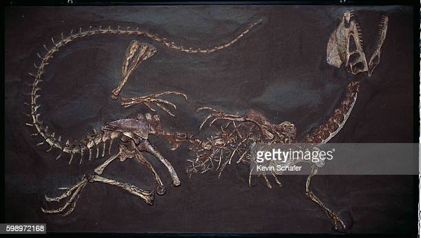 jurassic twin crested dilophosaurus fossil - animal bones stock photos and pictures