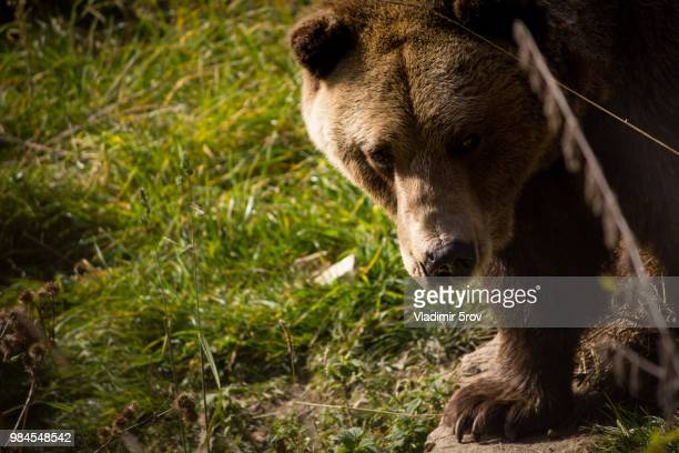 Just A Brown Bear