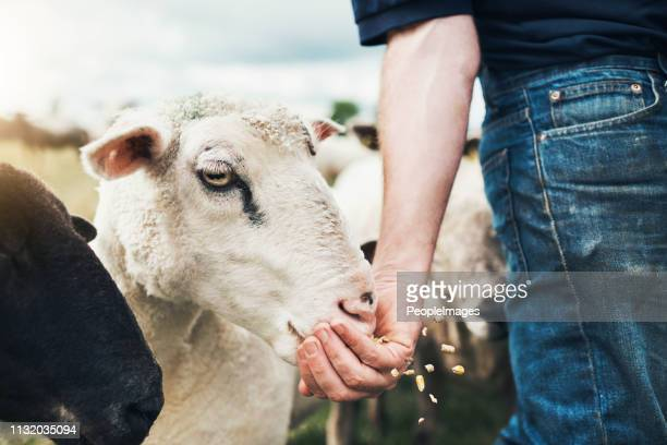 just a little bit - livestock stock pictures, royalty-free photos & images