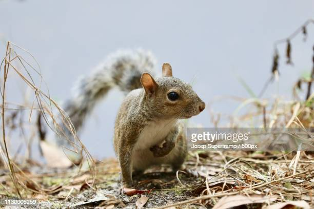 just a little squirrel - tree squirrel stock photos and pictures