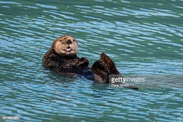 just chillin' - sea otter stock photos and pictures