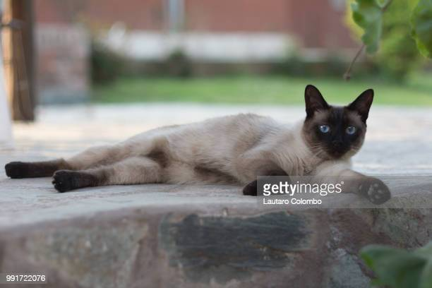 just chilling - siamese cat stock pictures, royalty-free photos & images