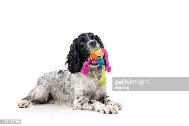 just one game...please! - english springer spaniel stock pictures, royalty-free photos & images