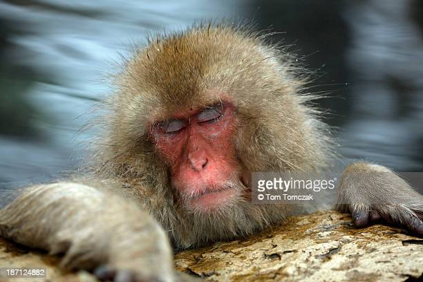 just resting my eyes - monkey stock pictures, royalty-free photos & images