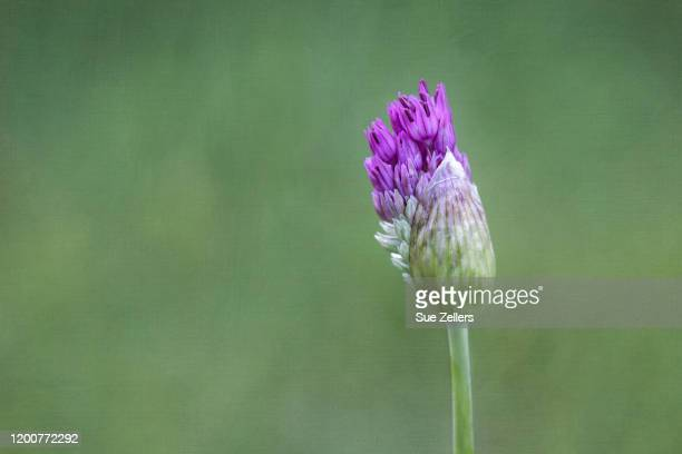 just starting to bloom purple allium flower - allium flower stock pictures, royalty-free photos & images