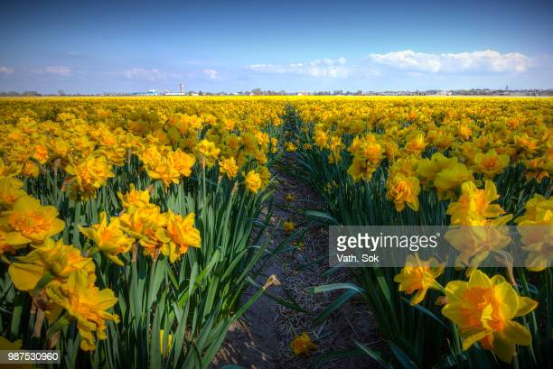 just yellow - field of daffodils stock pictures, royalty-free photos & images