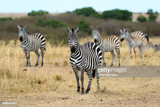 Just zebras