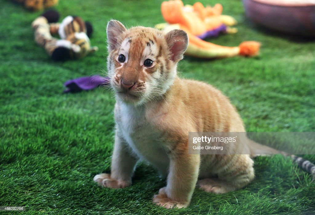 justice one of four 6 week old tiger cubs introduced at siegfried - Siegfried Roys Secret Garden And Dolphin Habitat