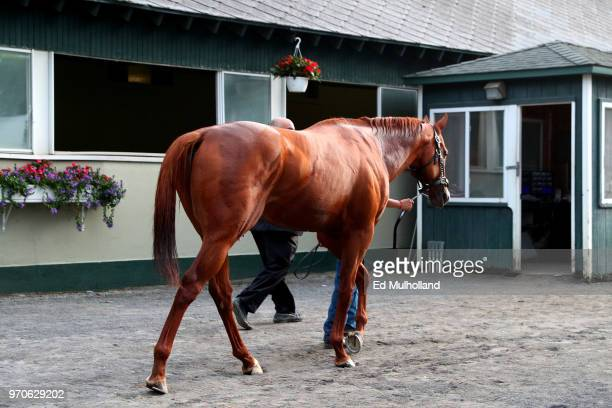 Justify walks through the stables after winning the 150th running of the Belmont Stakes at Belmont Park on June 9 2018 in Elmont New York Justify...