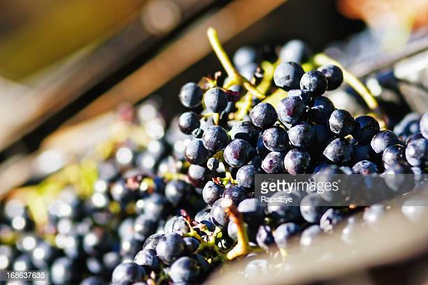 Just-picked black grapes ready for squeezing at a winery