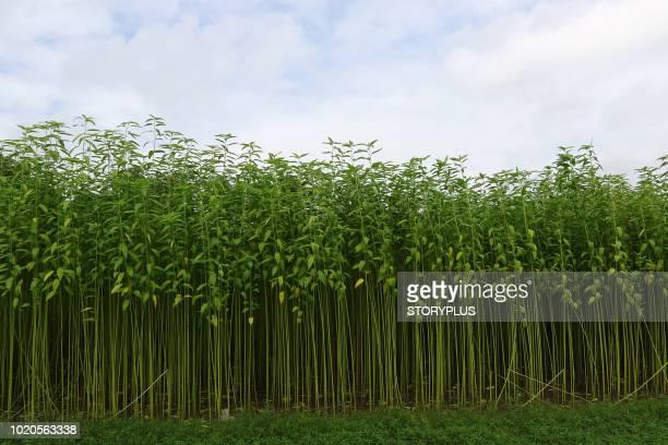 jute field in savar in dhaka, bangladesh - savar stock pictures, royalty-free photos & images