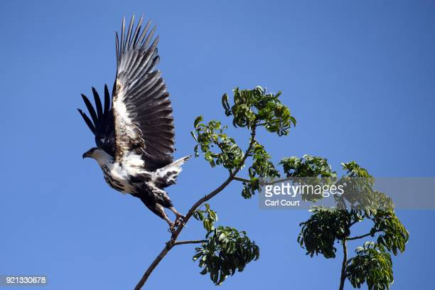A juvenile African fish eagle flies from a tree on January 25 2017 near Ziway Ethiopia Guide book publisher Lonely Planet recently ranked Ethiopia...
