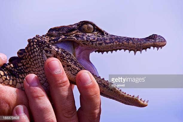 Juvenile Alligator shows his teeth