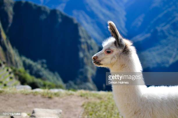 juvenile alpaca on machu picchu - alpaga photos et images de collection
