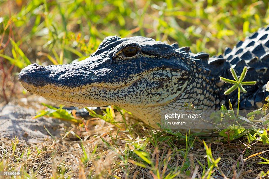 Juvenile Alligator, Captiva Island, USA : News Photo