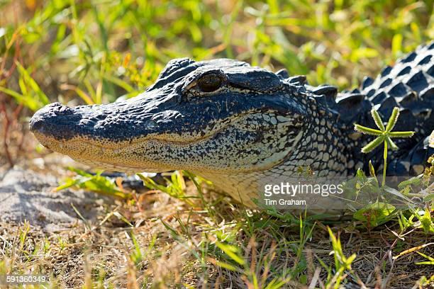 Juvenile American alligator basking at JN 'Ding' Darling National Wildlife Reserve Captiva Island Florida USA