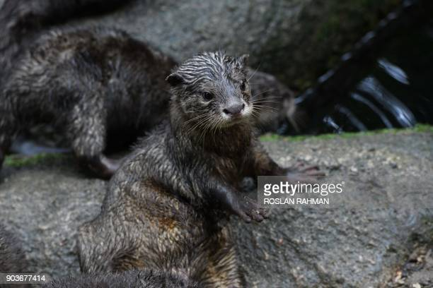 A juvenile Asian smallclawed otter looks on inside its enclosure at the Singapore Zoological Garden on January 11 2018 The Wildlife Reserves...