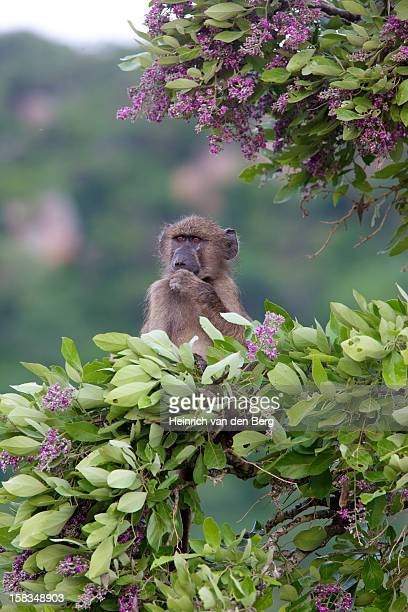 Juvenile baboon eating flowers